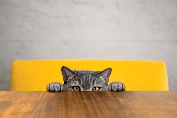 A cat peering over the edge of a table.