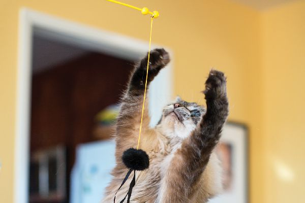 A cat playing with a toy on a string.
