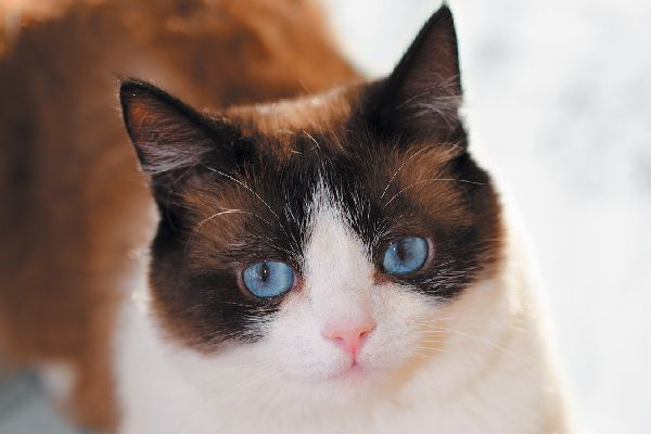 A Snowshoe cat is similar to a Siamese.