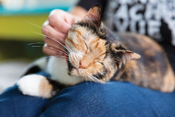 A calico cat on a lap.