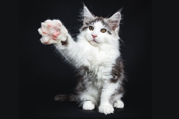 A cat reaching his paw out, claw close up.