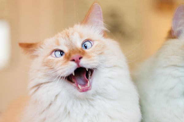 A crazy, funny looking cat with his mouth open.