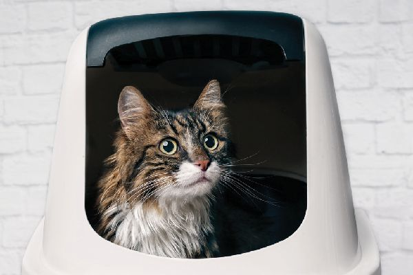 A cat looking out from a litter box.