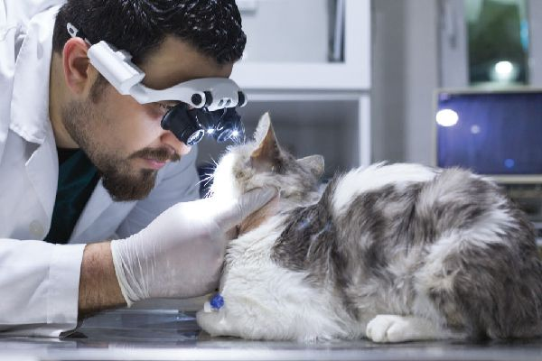 A vet looking closely at a cat's eyes.
