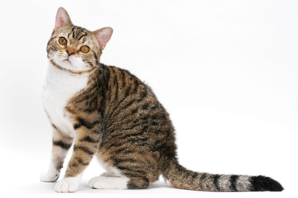 American Wirehair.