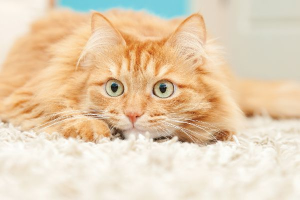 An orange cat, playful and about to pounce.