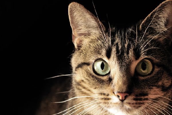 Close up of a tabby cat staring.