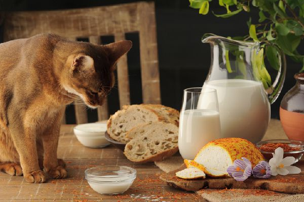A cat staring at bread, milk and cheese.