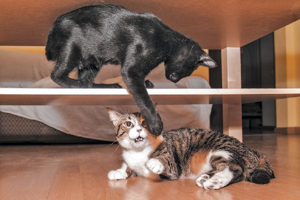 One cat hitting another, cat fight or aggression.