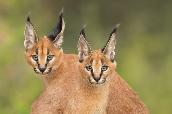 Two caracals in the wild.