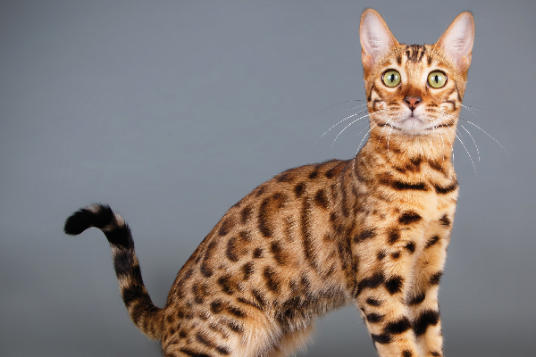 Bengal on a backdrop.