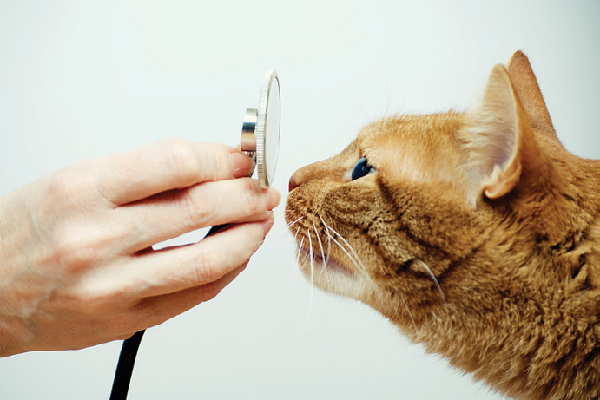 An orange cat looking at a vet stethoscope.
