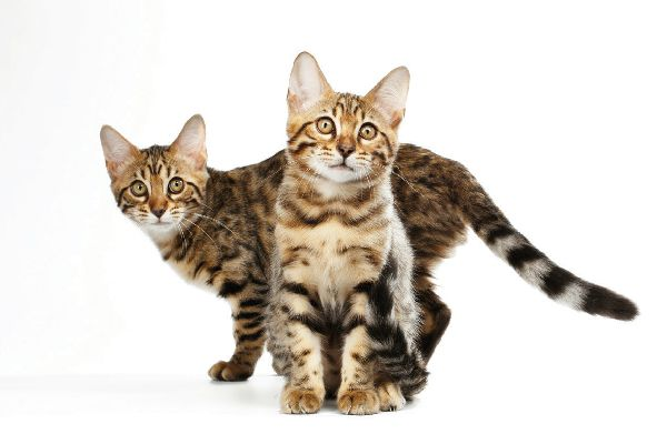 Two tabby cats posing together.