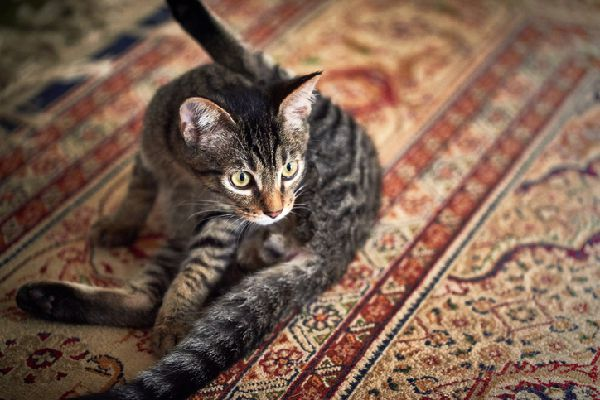 A cat sitting on a patterned rug with leg up in the air.