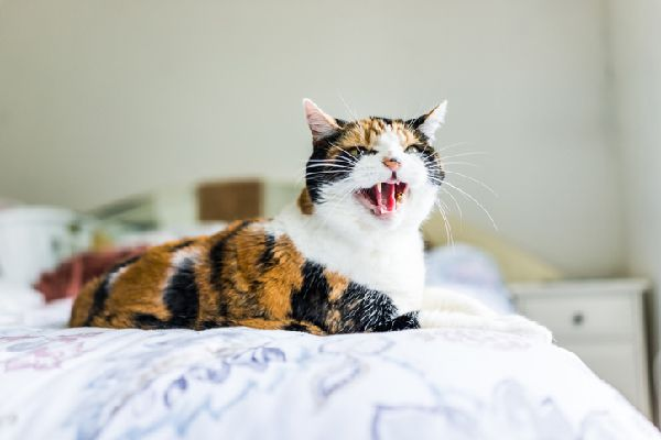 Cat hissing with mouth open, looking like a snake.