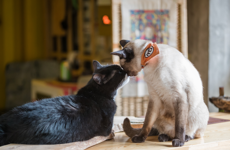 introduce Your Cat to a New Cat