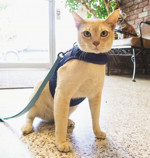 teach your cat to wear a harness
